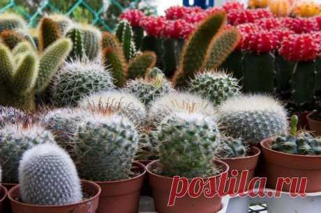 Как легко вырастить кактусы в домашних условиях