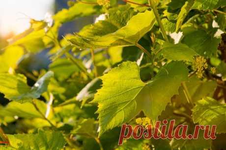 Виноград Мускат летний: описание сорта, фото Летний мускат, этот сорт отличается насыщенным вкусом, его ягоды можно узнать по янтарному оттенку, летний мускат обладает хорошей транспортабельностью