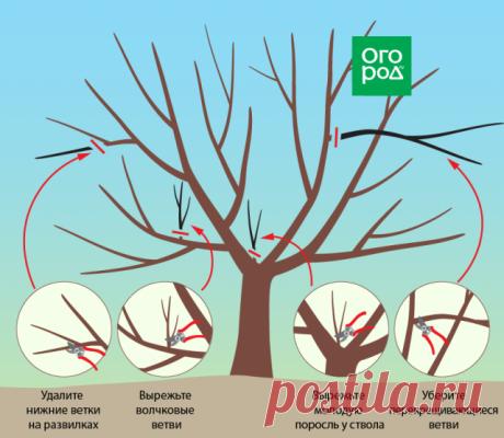 Обрезка вишни и черешни осенью – советы для начинающих в картинках | Вишня, черешня (Огород.ru)