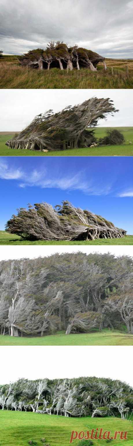 Наклонные деревья в Новой Зеландии  | MirFactov — всё самое интересное!