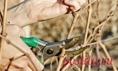 Грамотное формирование винограда — обязательное условие успешного его выращивания в любом регионе, будь то юг Франции или Подмосковье. Растение само
