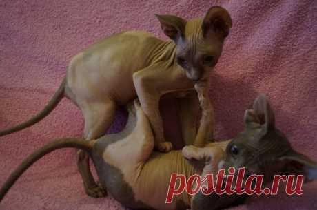 sale-cats.ru Пирамида Сфинкс