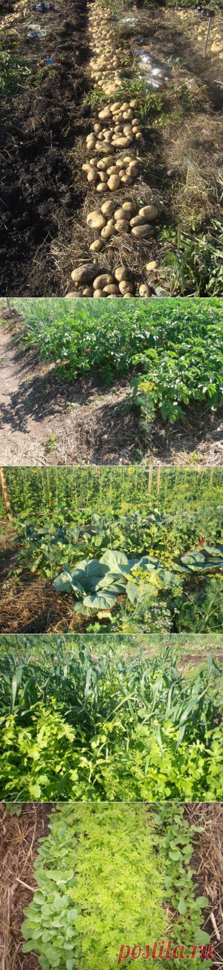 Способ возделывания картофеля на одном поле — 6 соток
