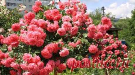 Как правильно обрезать розы на зиму и когда лучше это делать? — Дом и Сад