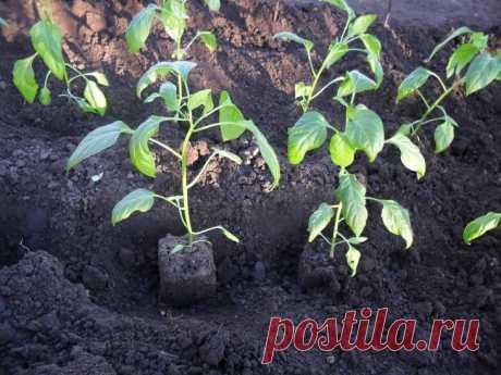 Что класть в лунку при посадке перца: секреты подкормки для хорошего урожая - Моя дача