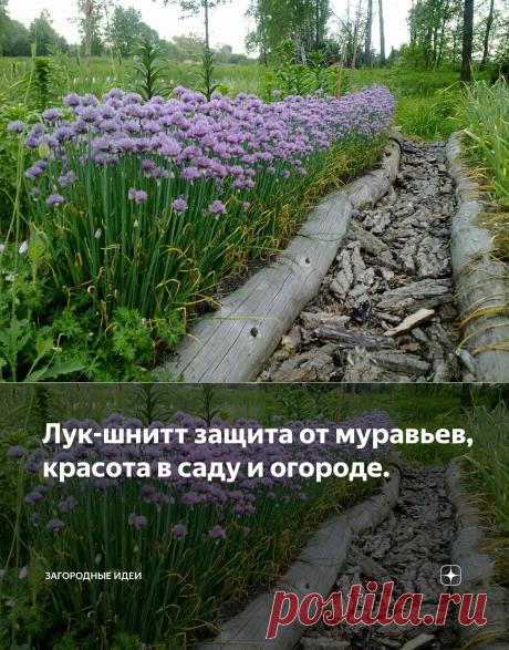 Лук-шнитт защита от муравьев, красота в саду и огороде. | Загородные идеи | Яндекс Дзен