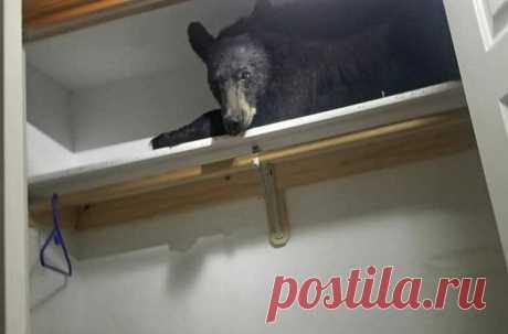 На рассвете медведь залез на участок частного дома, открыл дверь, похозяйничал и, утомившись, решил подремать на верхней полке шкафа