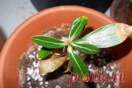 Болезни адениума: почему листья желтеют и опадают, сохнут кончики