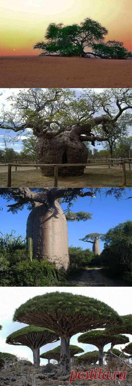 Удивительные деревья! | НАУКА И ЖИЗНЬ