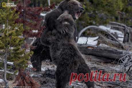 ФотоТелеграф » Дикие животные в Йеллоустонском национальном парке: 140 лет жизни по правилам человека