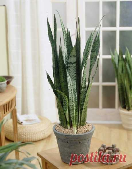 Цветы для ленивых: 10 самых неприхотливых комнатных растений - Интерьер - Леди Mail.Ru
