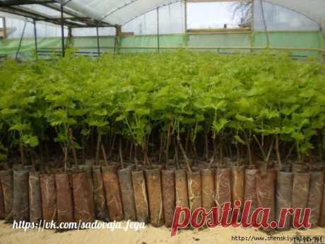 Выращиваем саженцы смородины за 3 месяца!!!