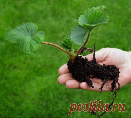 Moustaches and horns - ways of reproduction of garden wild strawberry