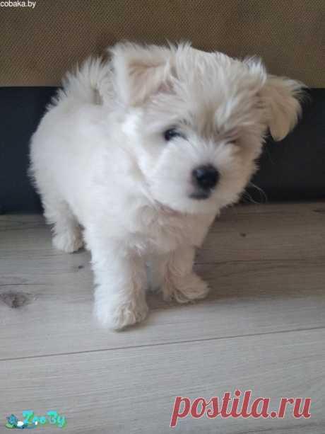 Продам щенка мальтийской болонки девочка купить в Минске на сайте объявлений