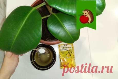 Что добавить в воду, протирая листья растений от пыли, чтобы те блестели, были здоровыми и плотными: 5 рецептов