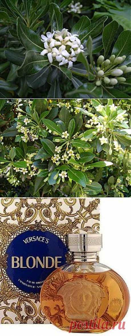 El encanto francés smolosemyannikov. El aroma saturado, brillante, de vainilla de las flores con las jazmíneas notkami a primero y los agrios – cerca del segundo tipo del arbusto se distribuye en la distancia considerable. El lujo del olor compensa las flores menudas feas amarillas claro cerca de los dos tipos.