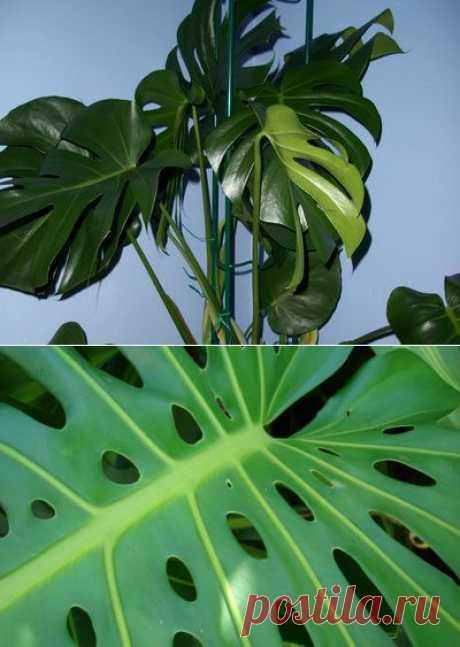 Комнатное растение монстера: фото и уход в домашних условиях