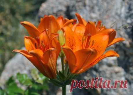 Лилия луковиценосная (lilium bulbiferum).