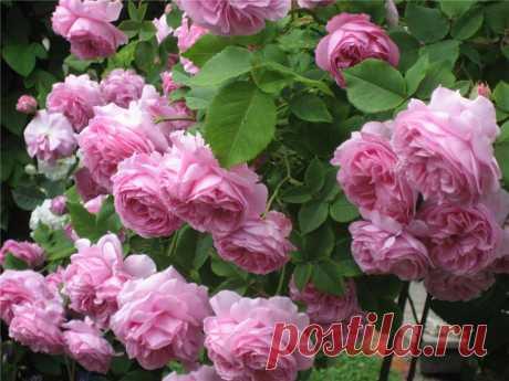 Лучшие посты о розах!))) Размножение, уход за розарием