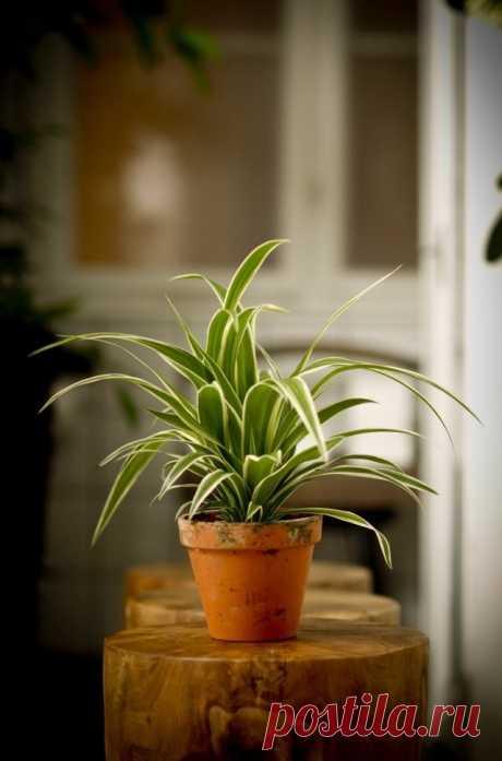 8 лучших комнатных растений-фильтров. Какие растения лучше очищают воздух? Список, фото - Ботаничка.ru - Страница 5