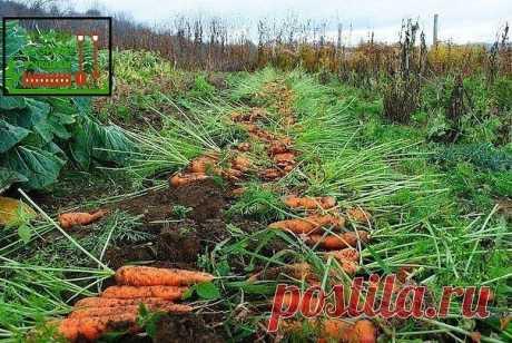 Пару морковных лайфхаков: #лайфхак Чтобы не привлечь морковную муху при прореживании моркови, возьмите взять 1 ведро воды и разведите в нем 1 столовую ложку красного или черного молотого перца (хватит на 10 кв.м). Настаивать не нужно, сразу обрызгивать морковь настоем перед прореживанием.  Если хотите получить урожай хорошей чистой моркови (без всякой гнили, заразы и т. д.) обязательно после второго прореживания полейте молодые растения следующим раствором: на 1 ведро воды...