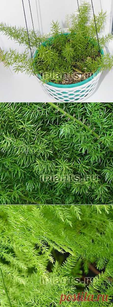 Семейство аспарагусовых. Родина тропические и субтропические районы Старого Света. Делится на полувьющиеся виды - аспарагус перистый и ампельные виды - аспарагус Шпренгери.