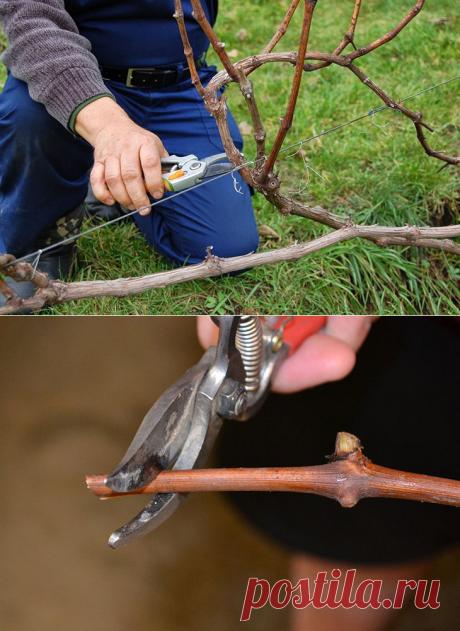 Осенняя обрезка винограда: обзор, описание и схемы