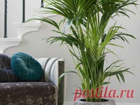 Как правильно ухаживать за пальмой дома Особенности домашних пальм Представители пальмовых — это декоративно-лиственные растительные культуры, пригодные для выращивания в домах и квартирах. Чтобы растение чувствовало себя комфортно, его рек...