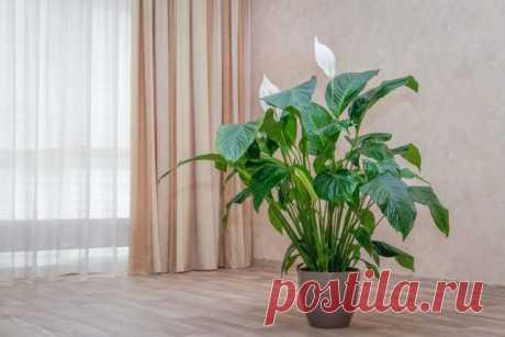 Почему сохнут листья у спатифиллума? Описание проблем и коррекция ухода. Фото — Ботаничка.ru