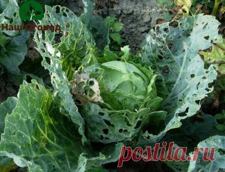 Как вывести вредителей с капусты без вреда и химии? | НАШ ОГОРОД | Яндекс Дзен
