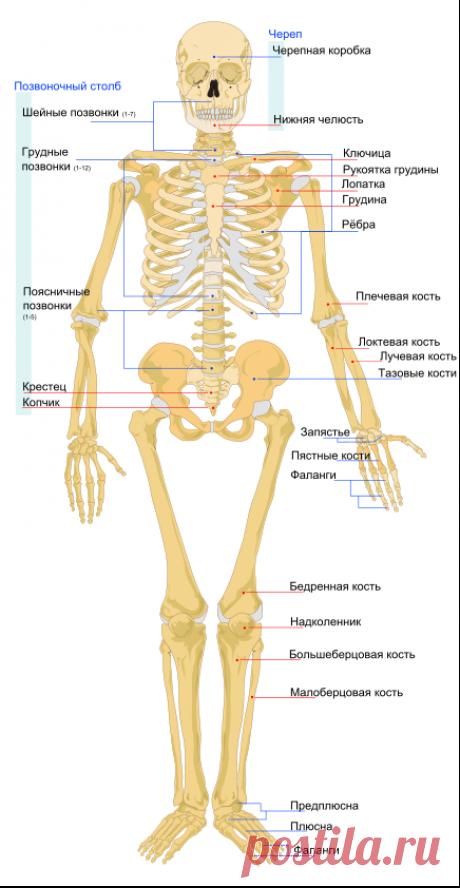 Скелет человека — Википедия