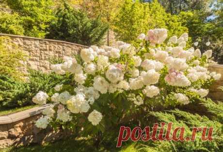 С чем посадить гортензию: 5 вариантов с фото | Деревья и кустарники (Огород.ru)