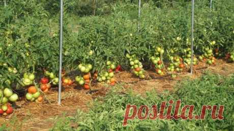 Фурацилин в помощь огороднику | Сад, дом, огород | Яндекс Дзен
