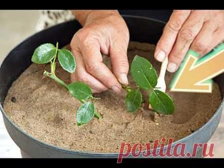 Посадите розы в ноябре декабре черенками дома этим способом, для волшебного цветения весной!