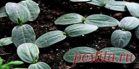 Los pepinos: más fuerte raíces — son más grandes la cosecha — Kopilochka de los consejos útiles