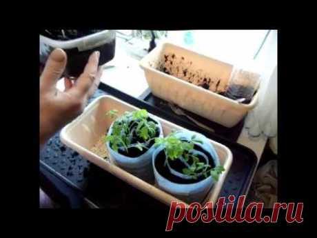 И ЗАЧЕМ ЭТО НАДО? Процесс пикировки томатов в улитку.