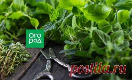 Какие пряные травы будут расти на вашем участке | На грядке (Огород.ru)