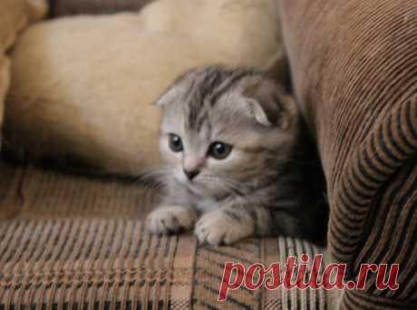 Кошечка скоттиш-фолд