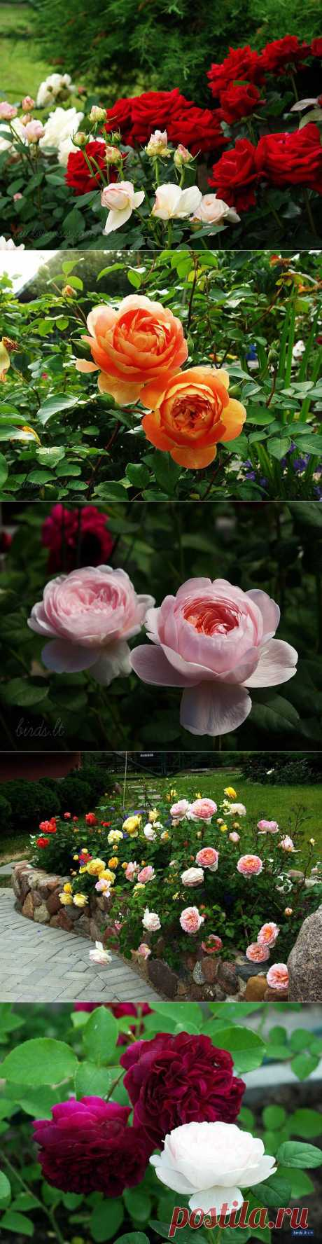 Розовый сад.