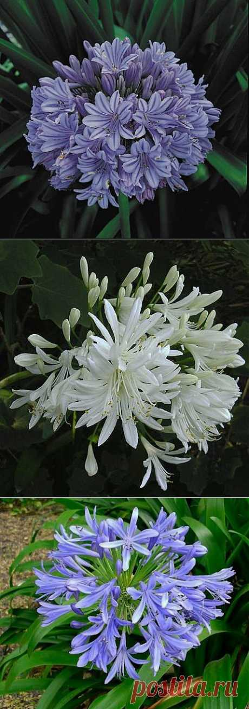 Цветок любви   Самоцветик