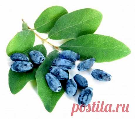 The main mistakes at cultivation of blueberry