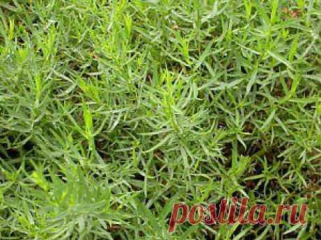 Полезные свойства растения тархун (эстрагона). Выращивание | Дача - впрок