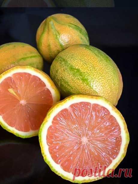 """Cítricos abigarrados Citrus Fortunella margarita """"Centennial"""" es una variedad variada de kumquat."""