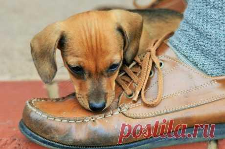 Проверенные способы отучить собаку грызть обувь: 5 методов коррекции поведения