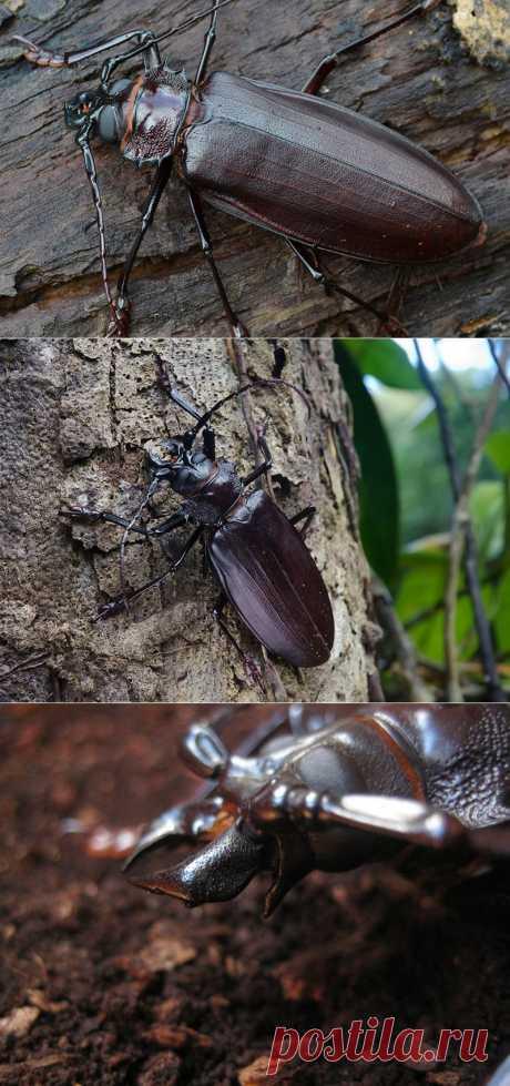 Дровосек-титан - гигант мира жуков | В мире интересного