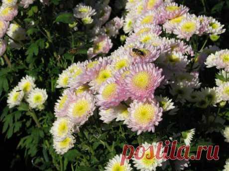 Цветы хризантемы: описание, виды, выращивание