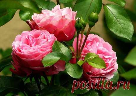 Улучшаем почву под розами. Тайный способ болгарских цветоводов | У-Дачный канал советы от Арины | Яндекс Дзен
