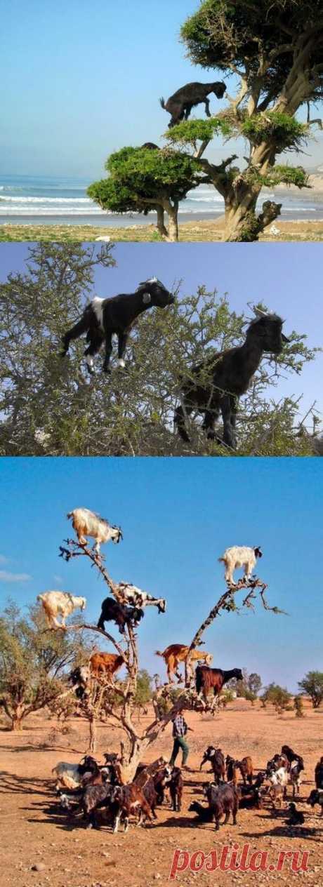 Resulta, las cabras pueden pastar sin ceremonia en los árboles, como, por ejemplo, lo hacen en Marruecos