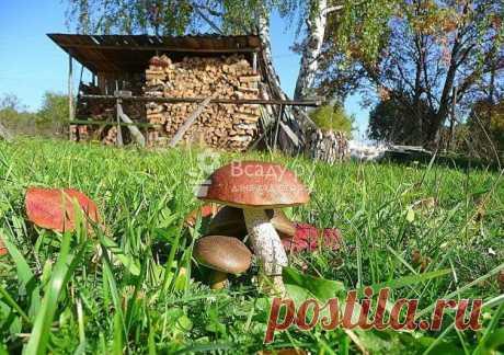 Посев и выращивание лесных грибов из семян на даче Выращиваем лесные грибы на дачном участке: собираем споры грибов из леса, активируем мицелий дрожжами. Выбор места и подготовка грибницы к посеву