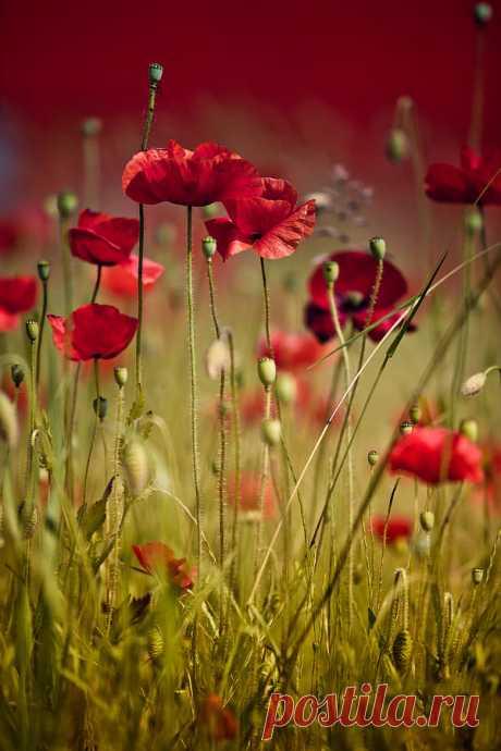 Summer Poppy Photograph by Nailia Schwarz